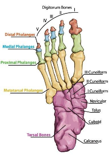 מבנה האנטומי של העצמות בכף הרגל