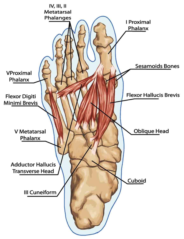 האנטומיה של השרירים ומיקומו של הססמואיד